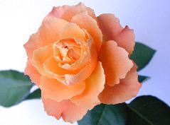 Actual health of roses in Dr. David's yard may vary.