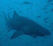 Sand tiger shark.
