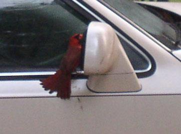 Cardinals recognize their own image as an intruder.