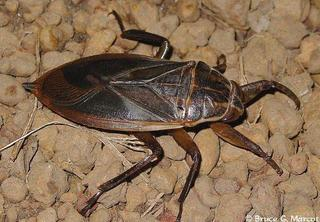 The Giant Water Bug