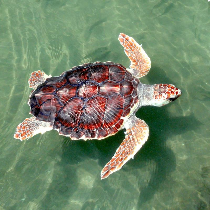 Endangered loggerhead sea turtle