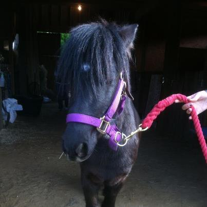Rupert the miniature pony