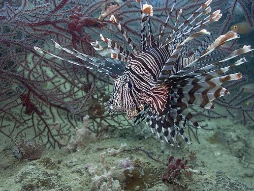 Lionfish deter would-be predators with their eighteen venomous spines.
