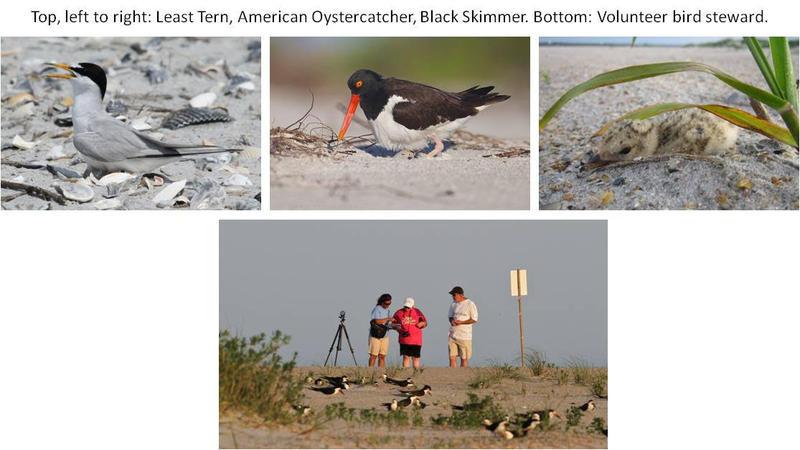 Least Tern, Black Skimmer, and Volunteer Bird Steward photos by Lindsay Addison; Oystercatcher photo by Bob Pelkey