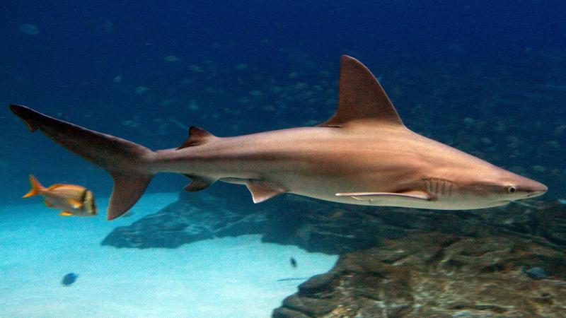 Sandbar Shark (Carcharhinus plumbeus)