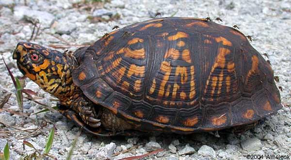 N.C. Box Turtle