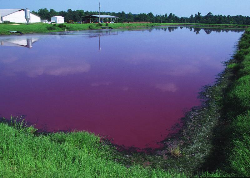 Typical animal waste lagoon in North Carolina; taken October 2011