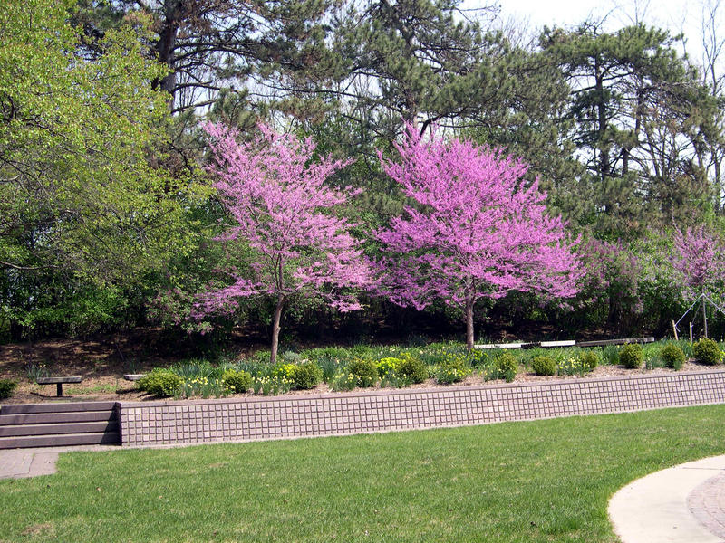 Redbud trees in Bentley Historical Library Courtyard