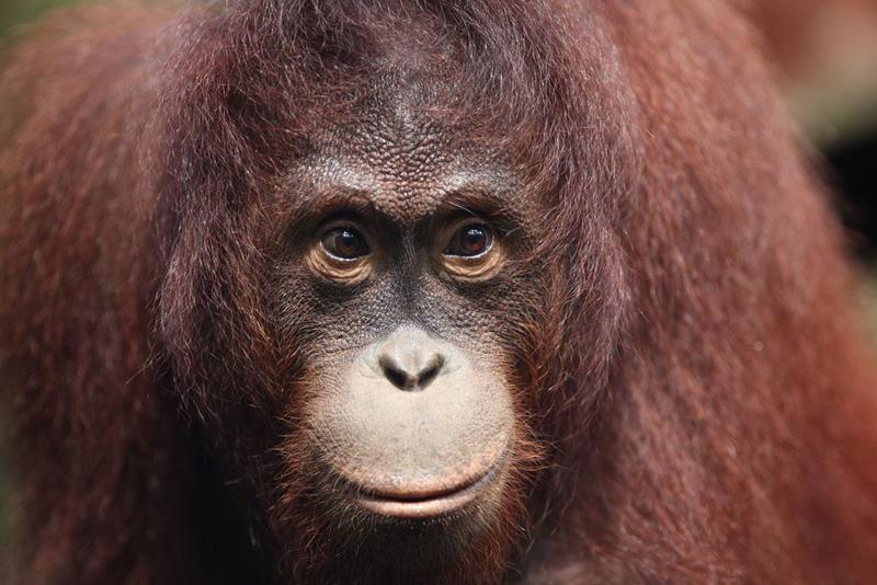 An ape from Borneo