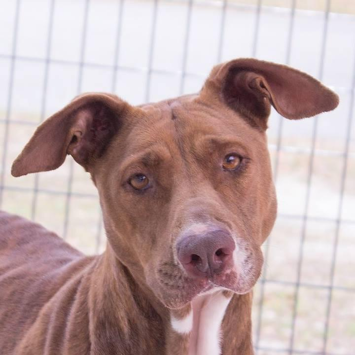 Winnie is a pit bull terrier mix, is about 2 years old, and has been at the Brunswick County Animal Protective Services Shelter since February 21st.