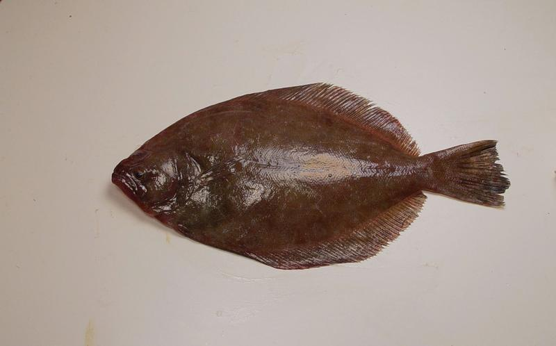 Southern flounder ( Paralichthys lethostigma )