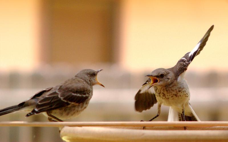 Northern Mockingbird juveniles at a bird bath in Austin, Texas in June, 2011