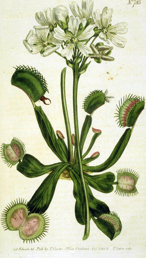 18th century drawing of the Venus Fly Trap discovered on the North Carolina coast