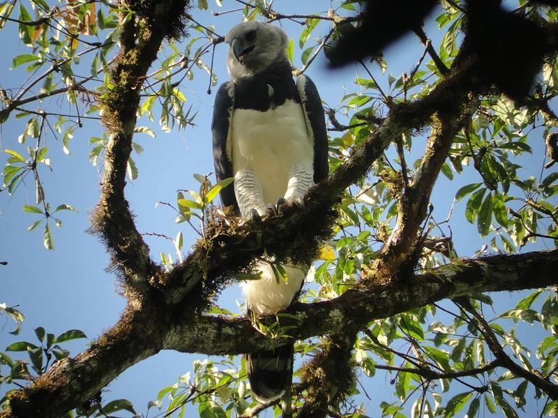 Harpy Eagle in Belize -- One of the adult Harpy Eagles in the forest of Belize.
