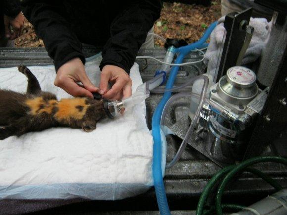 Vet doing field tests of marten in Manistee National Forest
