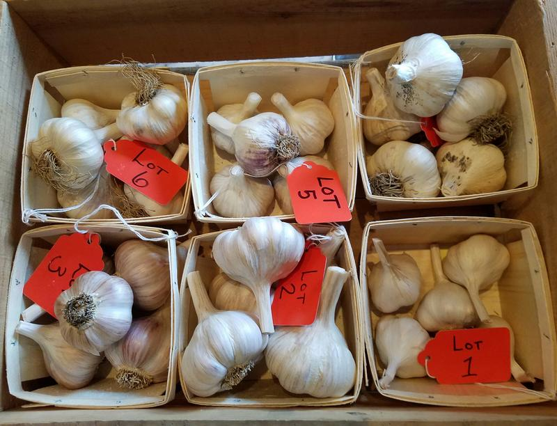 Garlic sits ready to be judged in advance of the Third Annual Crosshatch Garlic Auction.