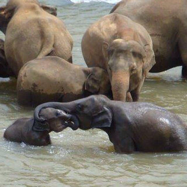 """Kids Commute Episode 17: """"Baby Elephant Walk,"""" by Henry Mancini. Cute baby elephants take a walk...and a bath! IPR's Kids Commute - Classical Music for Kids"""