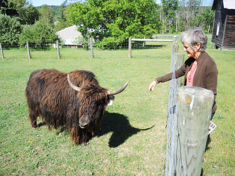 Jandy Sprouse tends to one of the Tibetan yaks that she raises at her ranch in Maple City. Jandy and her husband Brad are part of a growing local fiber movement, where customers are looking for locally made textiles for their clothing.
