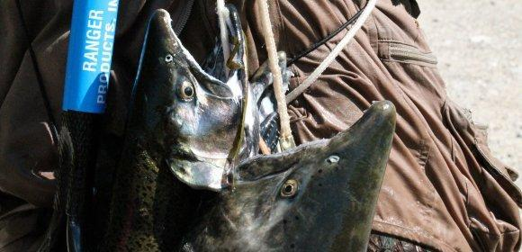 DNR reverses course on Chinook salmon stocking, proposes