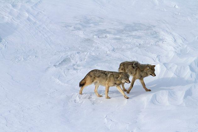 This winter, surveyers for Isle Royale National Park recorded two wolves on the island.