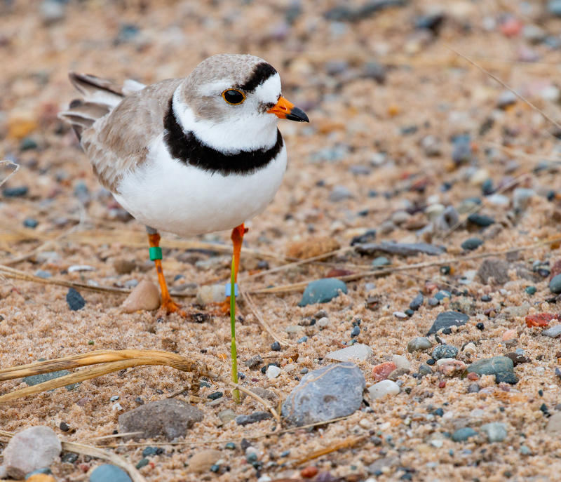 A male piping plover walks the beach near Muskegon.