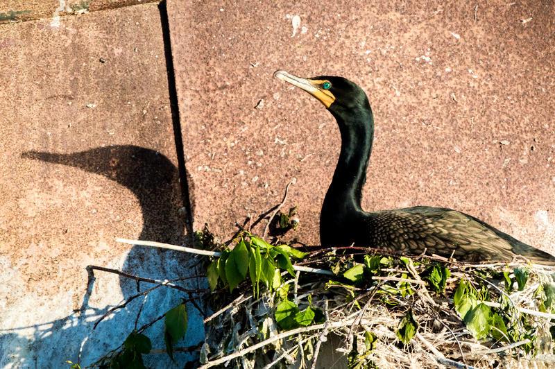 Cormorant nest on the Morazan