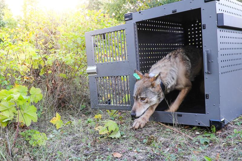 USDA wildlife services and a member of the Grand Portage Band of Lake Superior Chippewa checking on wolf in crate.