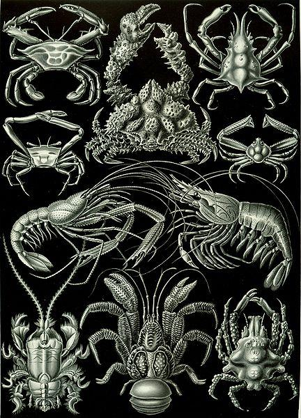 "KC 259 - Erik Satie thought lobsters were ferocious - and delicious! Image: Haeckel's ""Decapoda."""