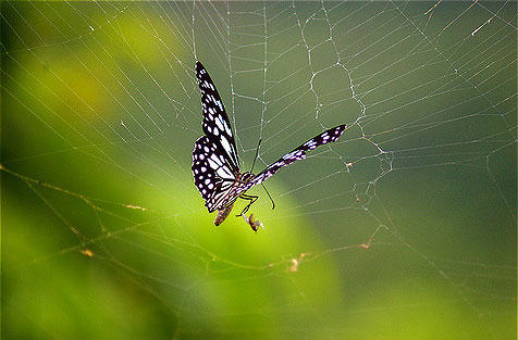 "KC 271 - ""The Spider's Feast"" Part Two! Today, a butterfly gets caught in the web. Interlochen Public Radio - classical music for kids!"