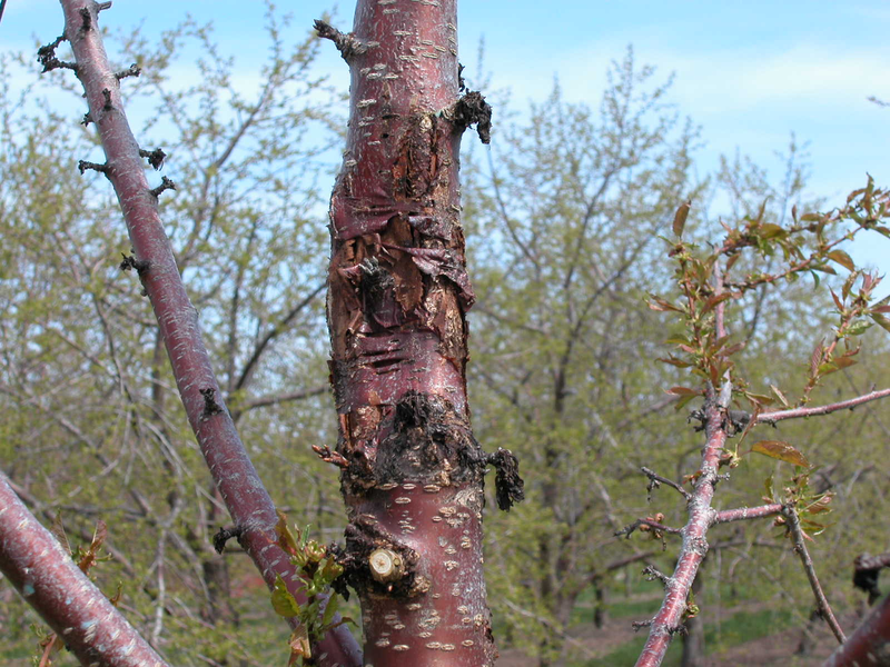 The smooth, rosy trunk of a cherry tree is marked with big, oozing dead areas, called cankers.