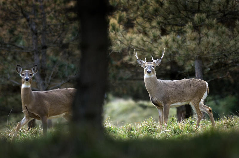 A new bill introduced by State Sen. Curt VanderWall (R/Ludington) would reverse Michigan's ban on deer baiting and feeding.