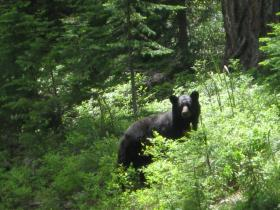 black bear in northern forest