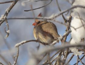 female cardinal in Madison