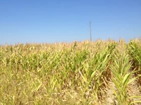 Crop conditions West of Palmyra, Missouri as of 9-9-2013. Conditions are similar in Clark and Lewis Counties.