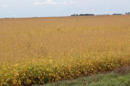 Acres planted in soybeans could reach a record high this year.