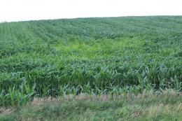 Crops in Western Illinois Remain in Good Condition