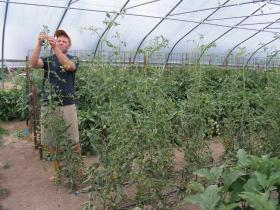 Curtis grows some tomatoes in hoop houses at Barefoot Gardens CSA