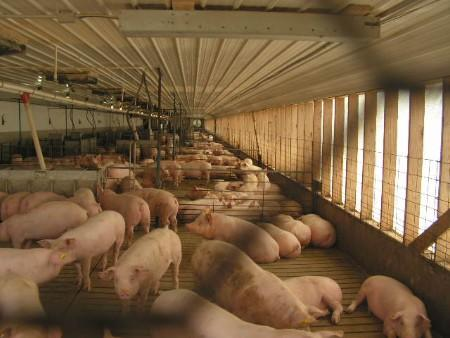 Large-scale hog confinement