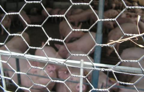 Hogs in a confinement facility