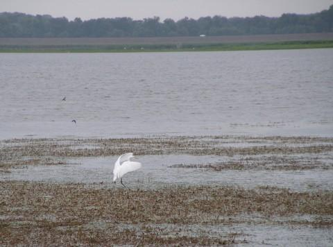 An egret prepares to touch down at the Emiquon Complex