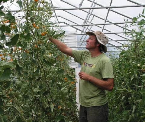 John Curtis picking tomatoes in one of the hoop houses at Barefoot Gardens