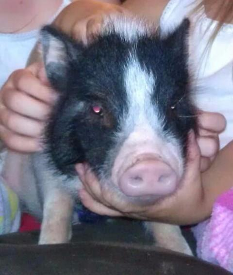 Bacon the miniature pot-bellied pig.
