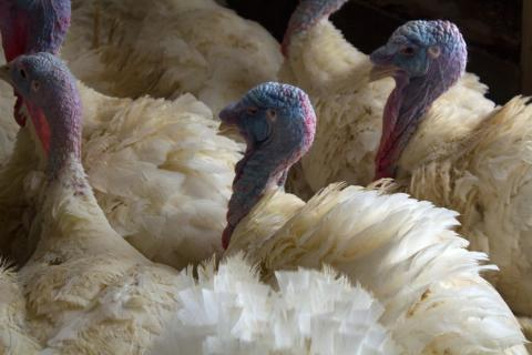 Investigators have discovered avian flu in commercial poultry flocks in Minnesota, Missouri and Arkansas.