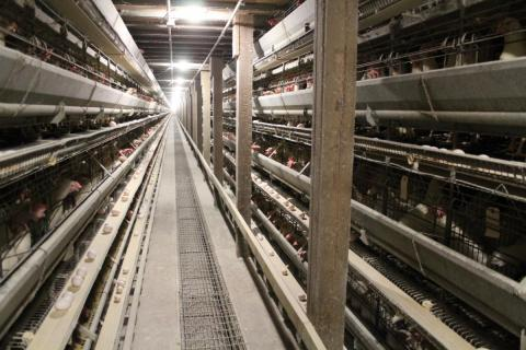 Many chicken producers add antibiotics to the feed they supply their flocks.