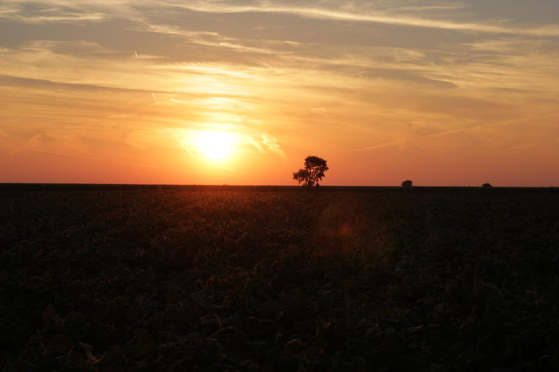 Sunset over a field of organic soybeans growing at the Allison Farm, Western Illinois University's organic research farm.