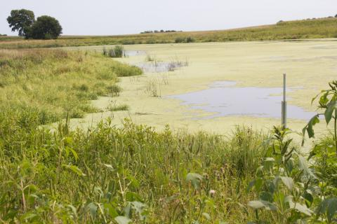 Constructed wetlands surrounded by long grasses serve as a natural filter to remove nitrogen from water flowing off farm fields so only clean water reaches rivers.