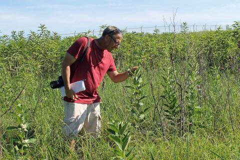 Tom Weissling, a professor in the University of Nebraska-Lincoln's Department of Entomology, spends his summer combing through fields searching for milkweed and monarch larvae.