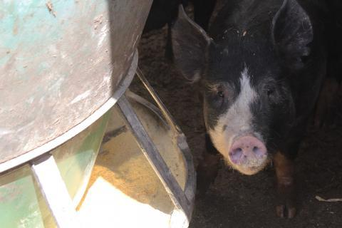 Swine feed can include ingredients sourced around the world.