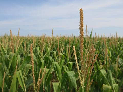 Upwards of 90% of the corn grown in the U.S. is genetically engineered.