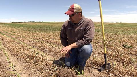 Nebraska farmer Noah Seim evaluates a corn field where cover crops were grown between the rows in an effort to improve the quality of both the soil on his farm and reduce harmful water runoff.
